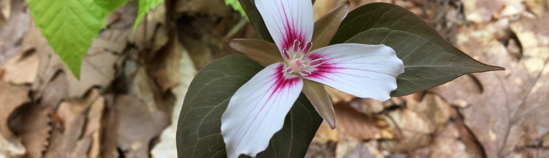 CotW white flower