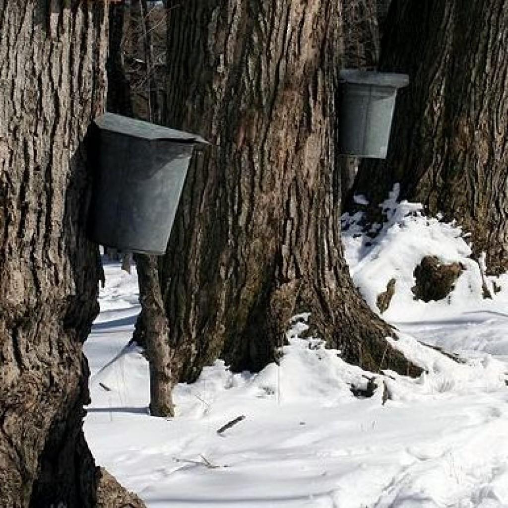 800px-Maple_sap_buckets_-_Beaver_Meadow_Audubon_Center