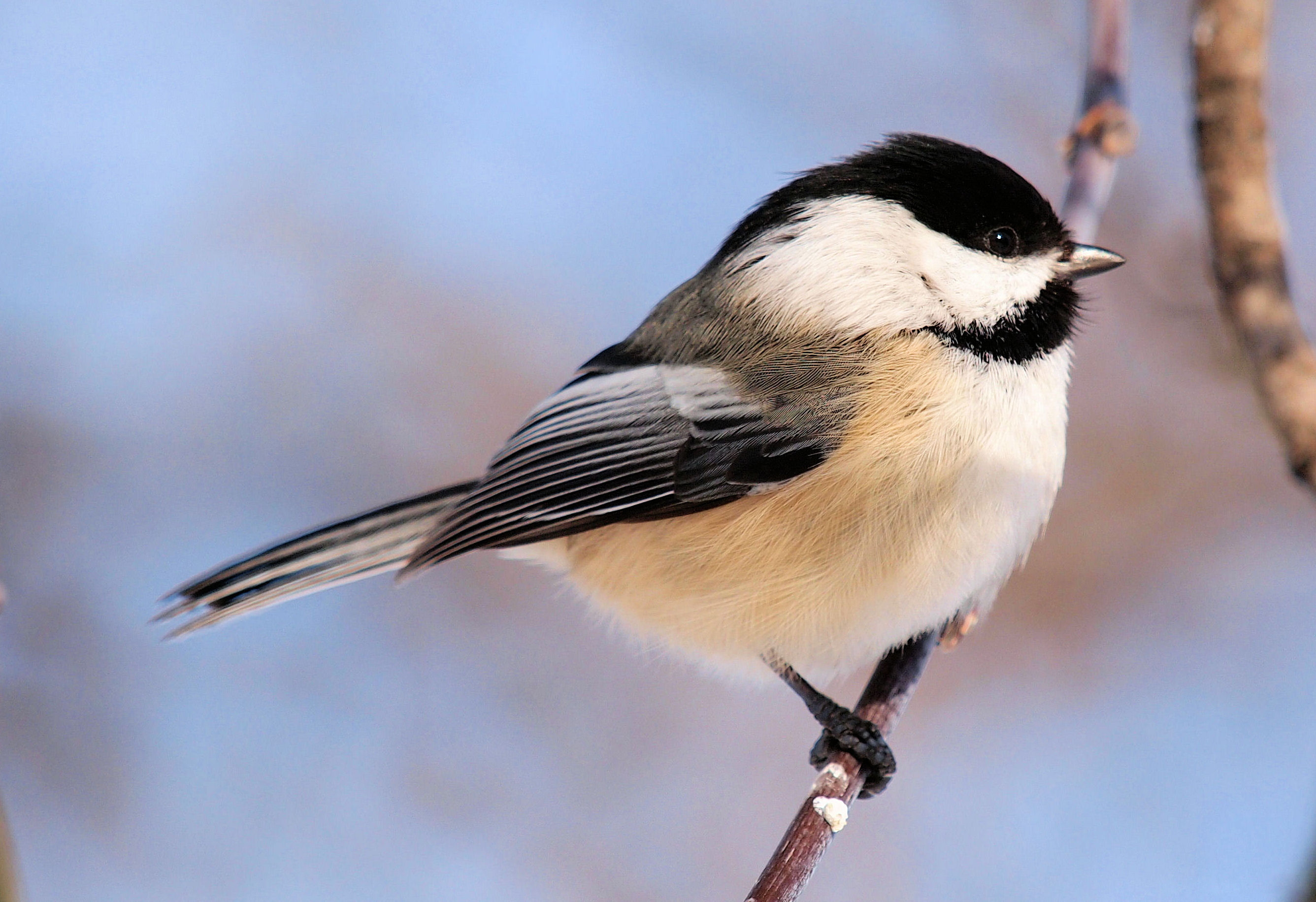 Chickadees – the Voice of Delight