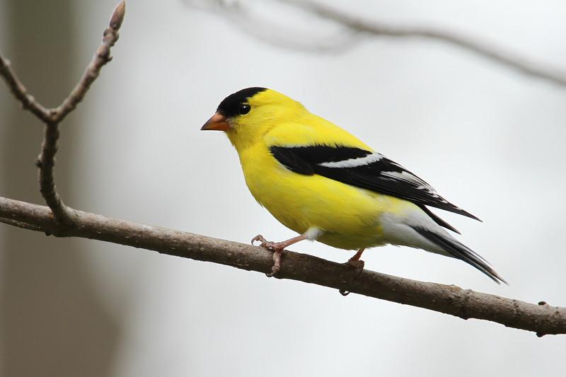 Goldfinch Resurrection